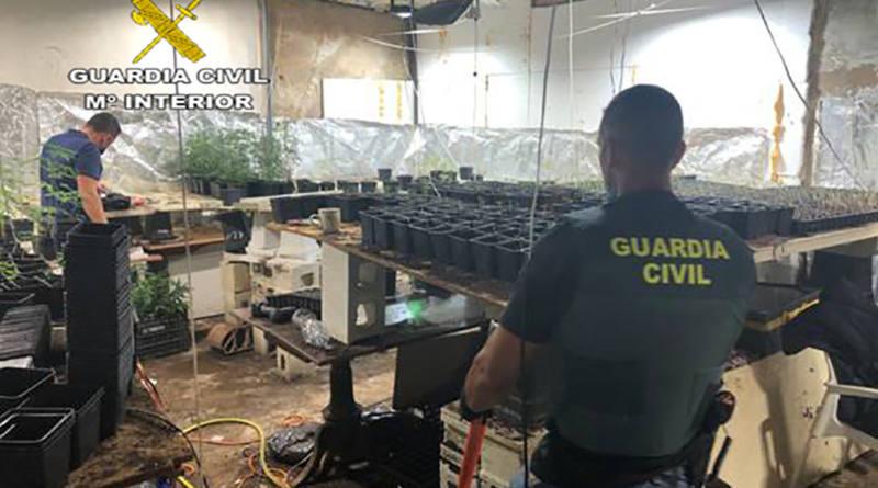 Carmona. Un Guardia Civil desmantela una plantación de Marihuana con más de 3.000 plantas